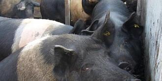 avertisment ansvsa pentru proprietarii de porci