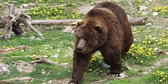 11 ursi alungati in ultima saptamana de jandarmi din localitati din prahova