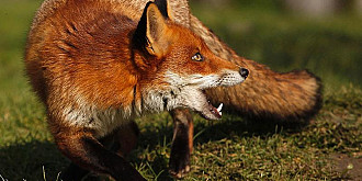 o vulpe turbata a adus focarul de rabie la moreni